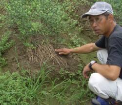 この苗木がミカンの土台の部分・キコクの苗木です