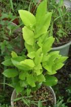 秋芽が伸びてきたサンセットファームのレモン苗