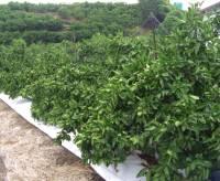 マルチ栽培のゆら早生