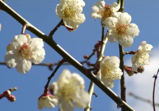 サンセットファームの梅・一足早く1月30日には七分咲き