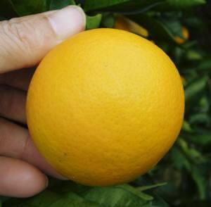 峯岡農園のバレンシアオレンジ・越冬状態