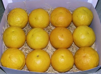 サンセットファームのバレンシアオレンジは、回青現象を抑え、彩りもきれいな袋掛け栽培