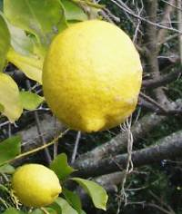 サンセットファーム・農薬をかけなくても、栽培できるレモン、今後に期待をかけて増殖中