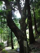 川&br;又観音の栃・和歌山県下で文化財に指定されているのはこの栃だけらしい・平成4年1月当時