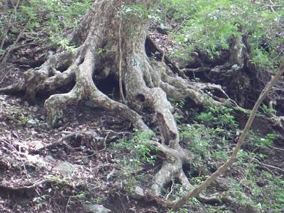 岩山に育つ木は、タコの足のように根を張っていました。