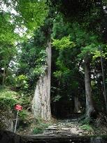 八幡神社のスギ 下の木