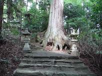 八幡神社のスギ 中の木