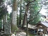 八幡神社のスギ 上の木