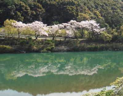 日置川・向平キャンプ場の桜