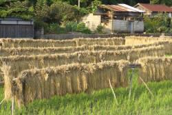 山間部の和歌山の米も捨てたモンじゃない・魚沼産のコシヒカリにも負けない