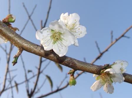 季節はずれの梅の開花・10月末撮影
