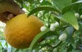 サンセットファームの甘夏みかんの花と果実
