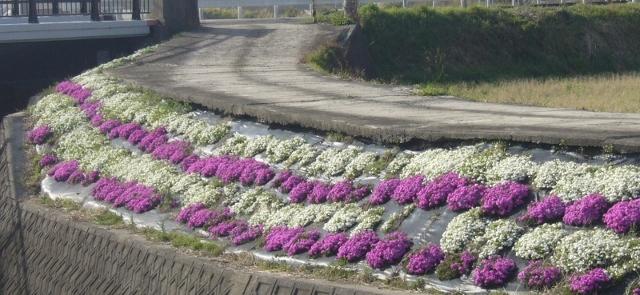 御坊市明神川のシバザクラも開花宣言?