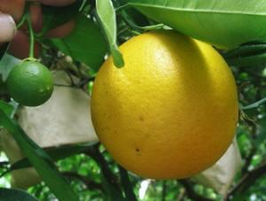 7月まで木で熟すので、今年の実と同時になるのも、国産バレンシアオレンジの特徴