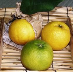 サンセットファームのバレンシアオレンジは、袋掛けで回青現象を抑え、色付いています