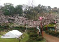 南紀白浜の桜の名所・平草原