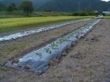 カボチャの試験栽培
