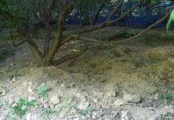 下村農園の梅畑にはイノシシが頻繁に出没
