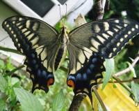 サンセットファームのレモンの苗木から成長したアゲハ蝶