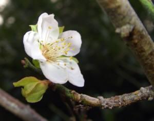 冷え込みとともに、梅の花がさいちゃいました