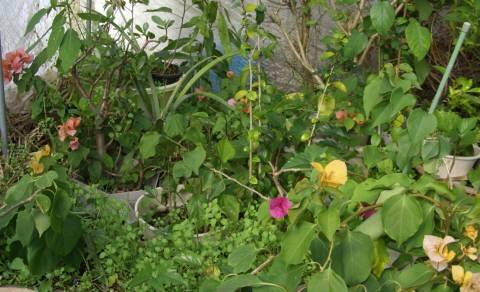 サンセットファームのビニールハウスの中は、ポカポカ、ブーゲンビレアが花をつけています。