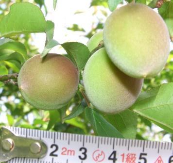 サンセットファームで栽培している南高梅・4月24日、収穫まで一カ月