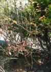 暖地でも栽培可能なブルーベリー