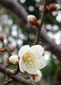 サンセットファームの梅の花