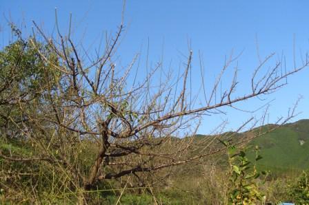 サンセットファームの南高梅の木