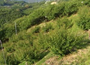 峯岡農園の梅畑・奥の大きな木が古城、手前が南高梅の若木、一番上に見えるのは、隣の長野地区・古城梅・誕生の地