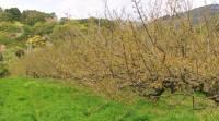 下村農園の圃場、南高梅は新葉がでるのが、古城よりも早い
