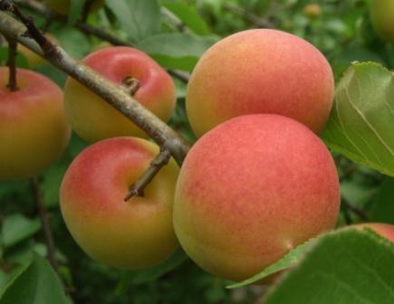 サンセットファームの南高梅・完熟梅は梅干用