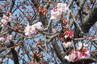 那智駅の前で桜咲く