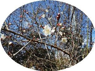 2018年の梅の花